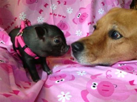 pink mini mini teacup pigs pink www imgkid com the image kid has it