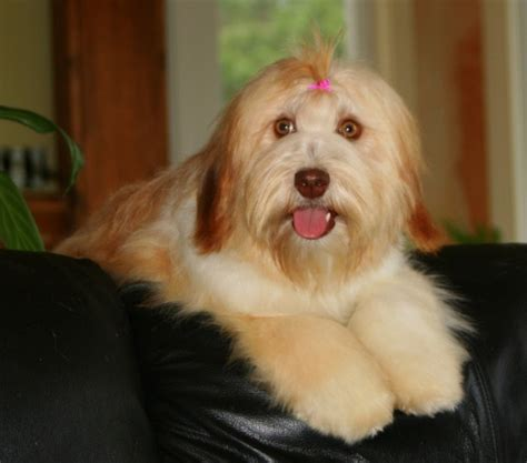 havanese adults our havanese paradise kennel