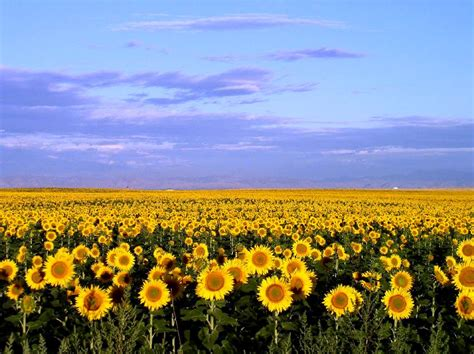 sunflowers in kansas sunflower field kansas pinterest sunflower fields