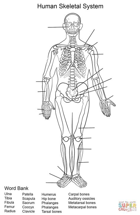 Skeletal System Coloring Pages human skeletal system worksheet coloring page free