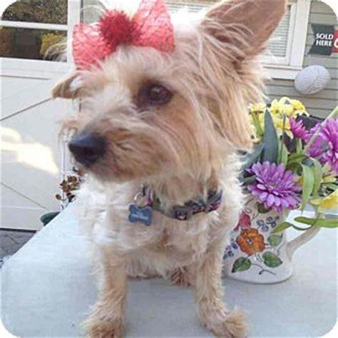 yorkie havanese mix los angeles ca yorkie terrier havanese mix meet goldie a for adoption
