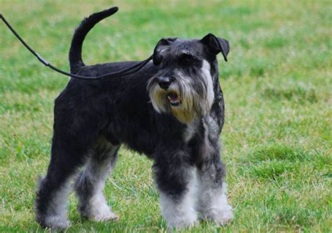 how much to ship a puppy how much does a miniature schnauzer cost herepup