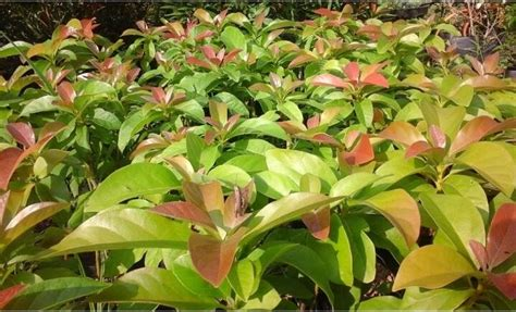 Bibit Alpukat Jawa Barat jual bibit alpukat murah bibit tanaman unggul