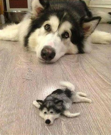 miniature husky puppies husky gets a miniature friend made from its own fur soranews24