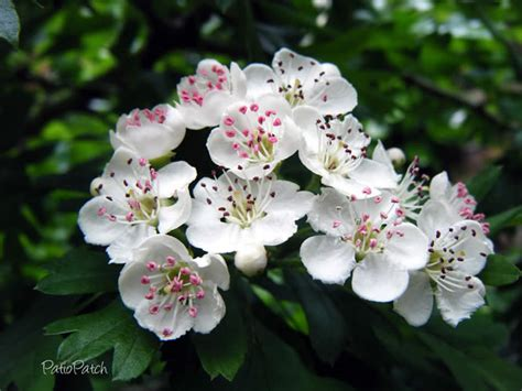 Mo Net Search By Name Missouri State Flower Hawthorn Blossom State Flowers Flowers