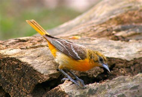 backyard birds of michigan backyard birds michigan sportsman online michigan hunting and fishing resource