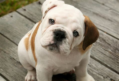 bulldog puppy bulldog puppies