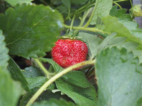 top 28 strawberry starter plants growing strawberries bonnie plants image gallery