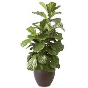fiddle leaf fig ficus fiddle leaf fig