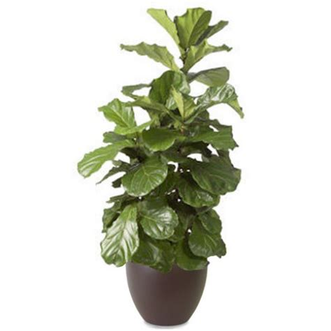 fiddle leaf fig ficus fiddle leaf fig