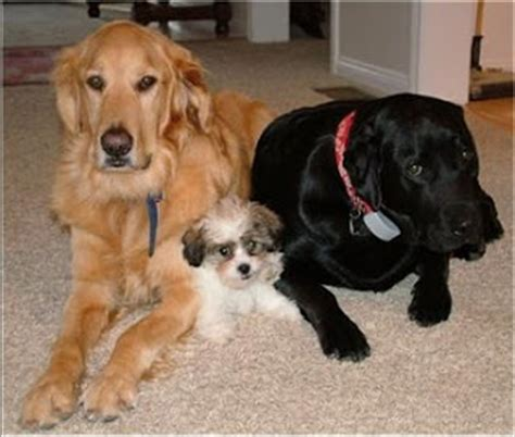 labs vs golden retrievers retriever labrador labrador retriever vs golden retriever
