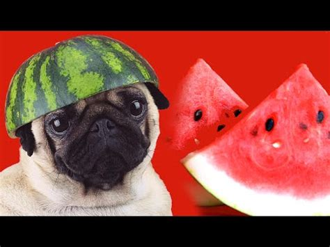 pug watermelon adventurous pug in wheelchair doovi