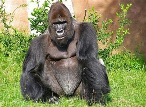 Know About the Cross River Gorilla Interesting Facts