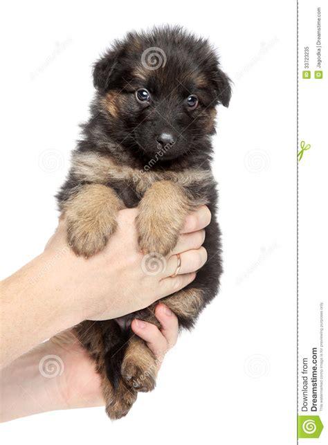 Floor Plan Download by Cute German Shepherd Puppy Sits In Hand Royalty Free Stock