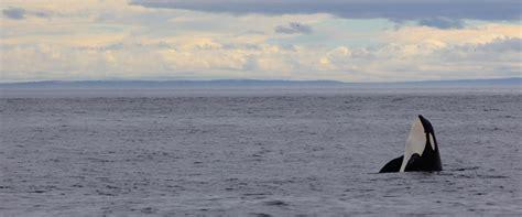 seattle whale watching boat tours whale watching san juan islands san juan safaris