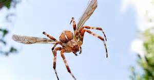 are barn spiders venomous scientists discover species of flying spider and it s
