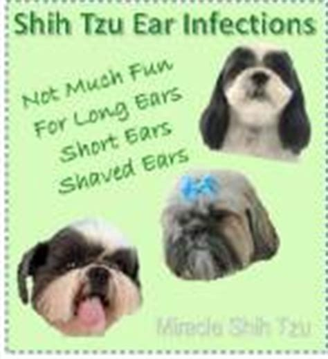 shih tzu ear problems shih tzu ear infection