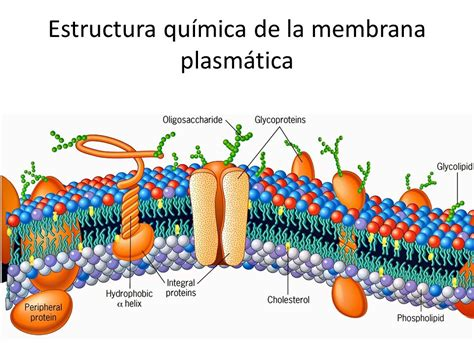 partes de la membrana celular partes de la c 233 lula animal