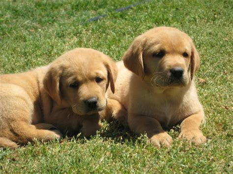 fox labrador puppies about damascus way labradors