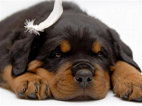 rottweiler puppies facts rottweiler breed information rottweiler puppies