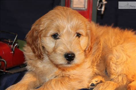 goldendoodle puppy forum meet chester a goldendoodle puppy for sale for 1 500