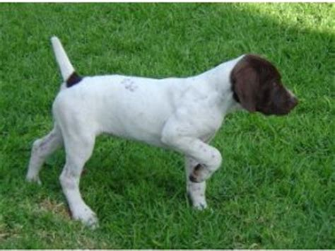 german shorthaired pointer puppies for sale in indiana german shorthaired pointer puppies for sale