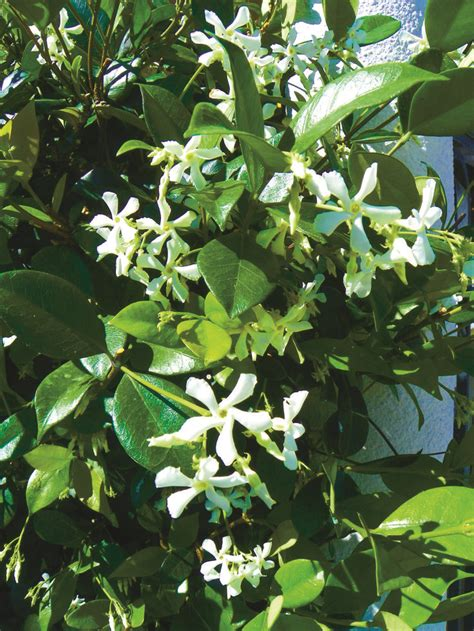 fragrant tropical plants 85 best images about 2 garden vines ground cover on