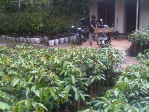Jual Bibit Durian Tembaga Medan bibit buah durian bibit durian montong dan bawor di medan