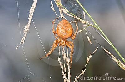 Garden Spider Orange Orange Garden Spider Stock Photos Image 21250063