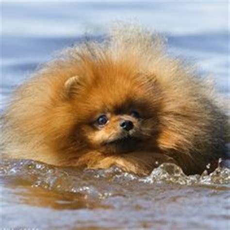 pomeranian health problems 1000 images about animals pomeranians on pomeranians pomeranian puppy