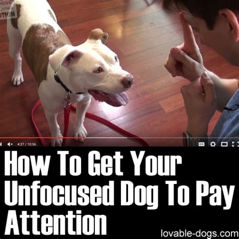 how to get a puppy lovable dogs how to get your unfocused to pay attention lovable dogs