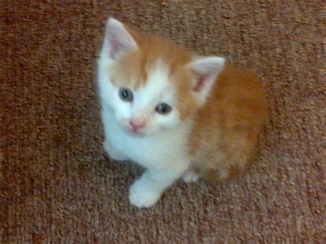 kitten for sale kittens for sale llandysul ceredigion pets4homes