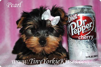 teacup yorkies for sell teacup size yorkies for sale terriers ca 850 for sale 850 00