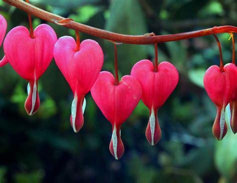 imagenes rosas sangrando las 25 mejores ideas sobre flor del coraz 243 n sangrante en