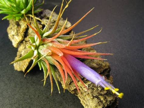 hardest plant to grow air plants easy to grow hard to kill living
