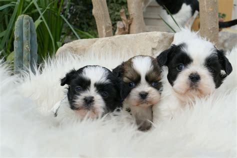 shih tzu blanco comprar cachorros de shih tzu corralet venta de perros