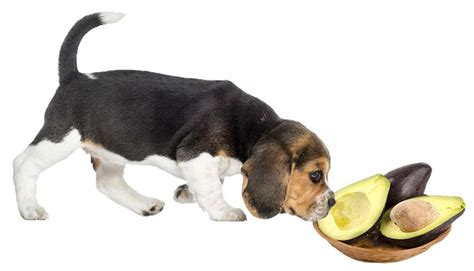 avocado safe for dogs can eat fruits complete list of fruits can can t eat