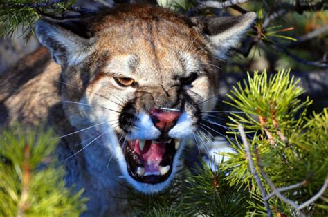 reset nvram mountain lion casper man s camera captures result of cougar s porcupine