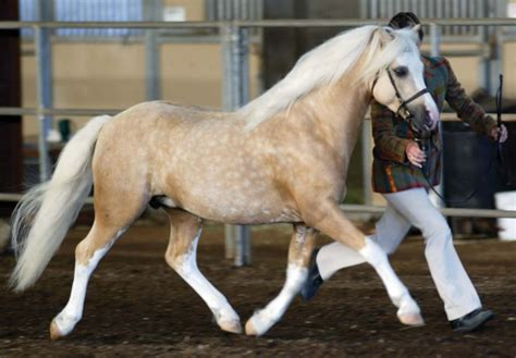 welsh section d characteristics horse breed welsh pony horse riding holidays and safaris