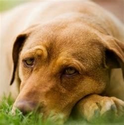 signs of distemper in dogs distemper in dogs symptoms and treatment