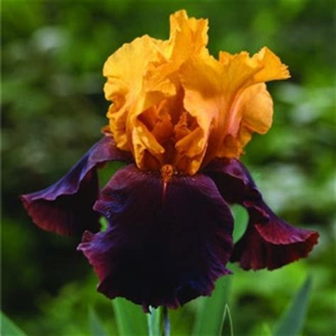 seasons garden center van bloem gardens bearded iris bulbs lafayette la