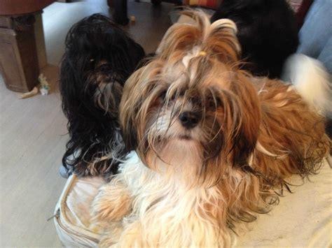 raising a shih tzu shih tzu puppies breeders orlando fl