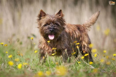 grooming picture for cairn terrier grooming tips for a cairn terrier puppy pets4homes