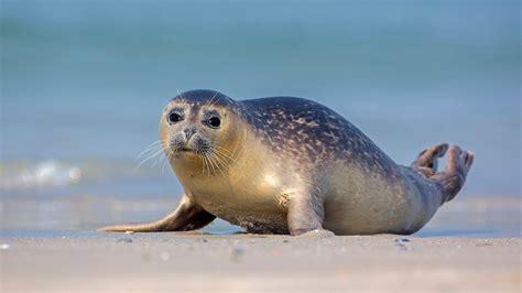 Arktische Tierwelt: Robben - Polarregionen - Natur ... Seehund