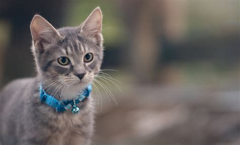 grey kitten wallpaper kitten gray collar cat wallpaper 2048x1240 348865
