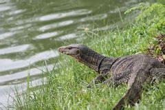 komodo dragon monitor lizard stock illustration