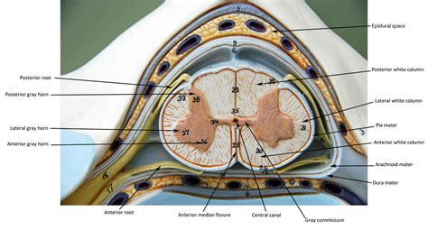 cross section of the spinal cord labeled spinal cord cross section human anatomy web site