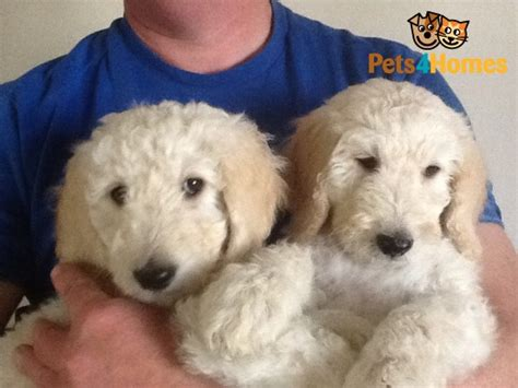 goldendoodle puppies for sale in kent goldendoodle puppies price reduced ashford kent