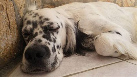 english setter dog food what is the best dog food for english setters herepup