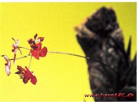 Oncidium Equitant oncidium equitant hybrid tolumnia haveabc dk